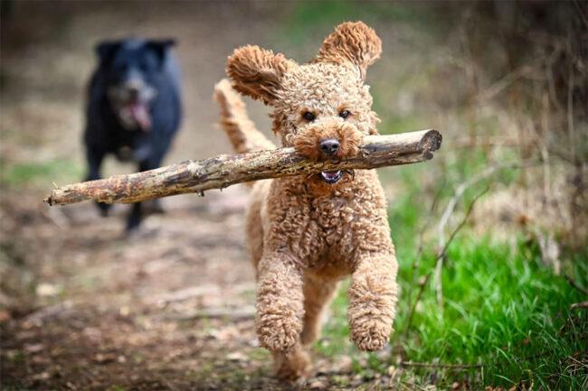 Hund mit großen Stock im Maul