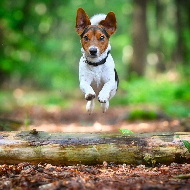 Hund springt über einen Ast