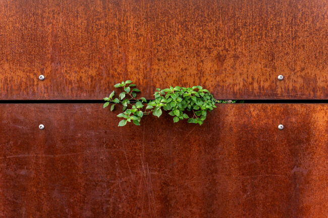 Blätter wachsen durch zwei Metallplatten