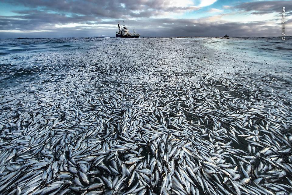 Tote Fische im Meer