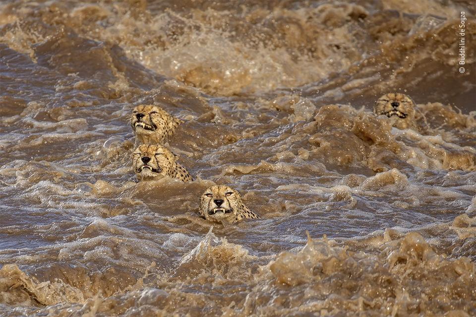 Schwimmende Großkatzen