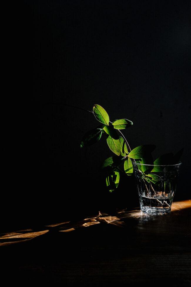 Blätter in einem Glas Wasser auf die Licht fällt