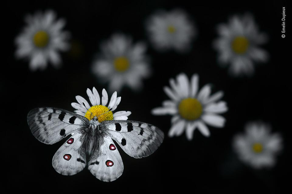 Schmetterling auf Blüten
