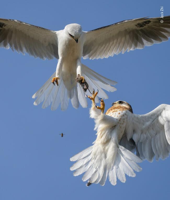 Zwei Vögel kämpfen in der Luft