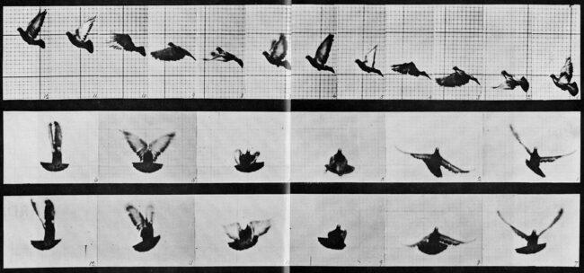 Bilderserie Bewegungsablauf einer Taube